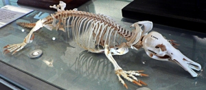 Platypus_skeleton_Pengo