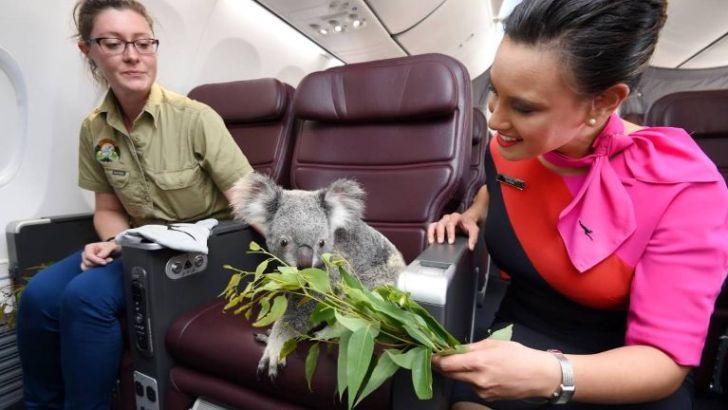 koala-qantas-3-1